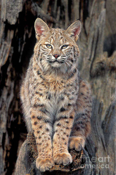 Photograph - Bobcat Felis Rufus Captive by Dave Welling