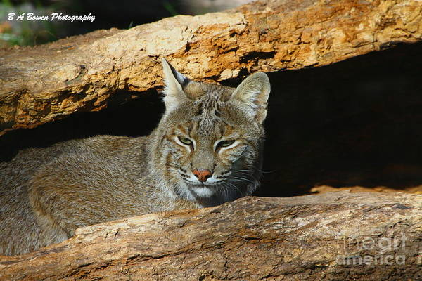 Photograph - Bobcat Hiding In A Log by Barbara Bowen