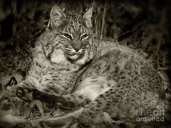 Photograph - Bobcat In Black And White by Karen Adams