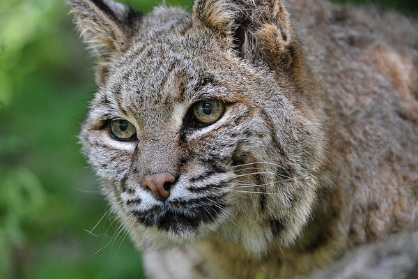 Photograph - Bobcat In The Trees by Jesse MacDonald