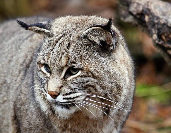 Photograph - Bobcat by Jim DeLillo