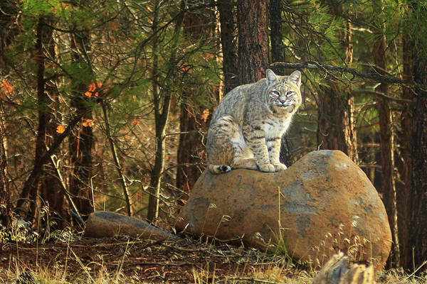 Photograph - Bobcat On A Rock by James Eddy