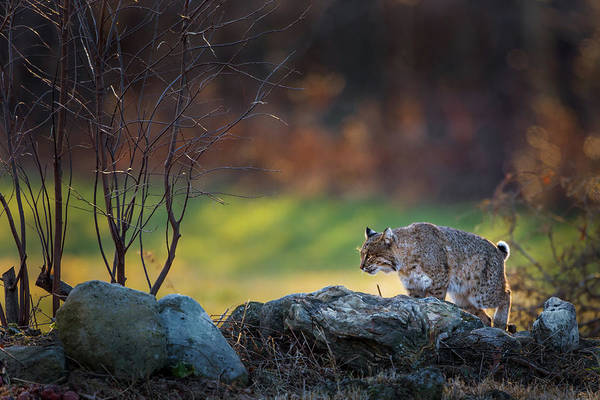 Photograph - Bobcat On The Hunt by Bill Wakeley