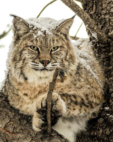 Wall Art - Photograph - Bobcat Paws. by Dawn Key