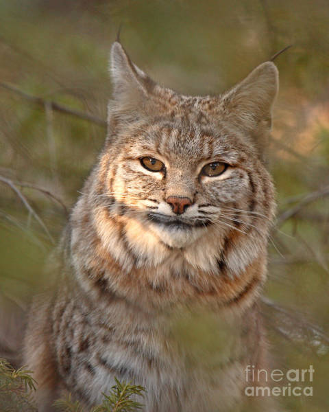 Wall Art - Photograph - Bobcat Portrait Surrounded By Pine by Max Allen