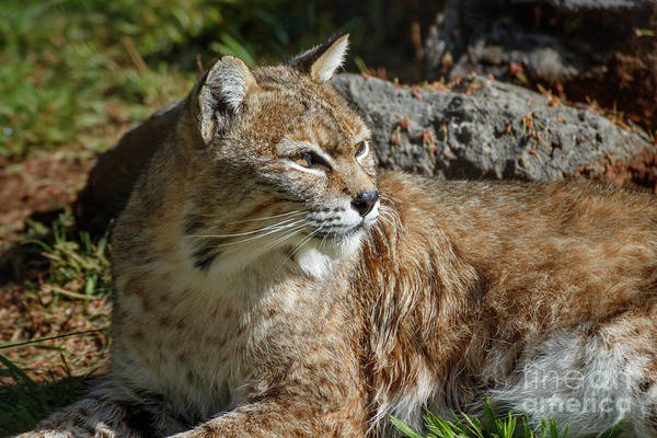 Photograph - Bobcat by Richard Smith