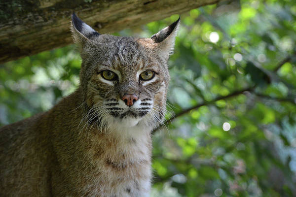 Photograph - Bobcat Staring Contest by Jesse MacDonald