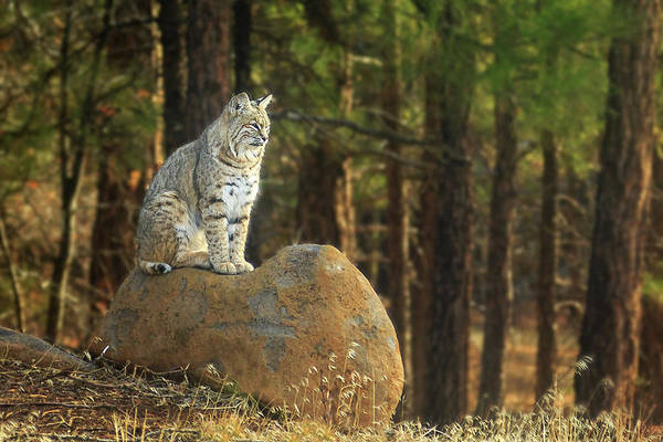 Photograph - Bobcat Thoughts by James Eddy