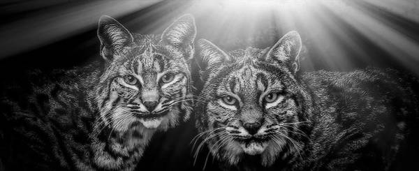 Mixed Media - Bobcats by Elaine Malott