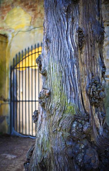 Photograph - Boboli Garden Ancient Tree by Marilyn Hunt
