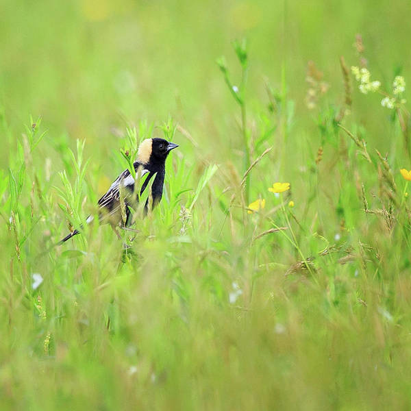 Photograph - Bobolink In The Grass Square by Bill Wakeley