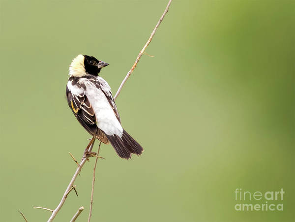 Photograph - Bobolink Looking At You by Ricky L Jones