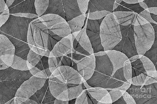Leafs Photograph - Bodhi Tree Leaves by Tim Gainey