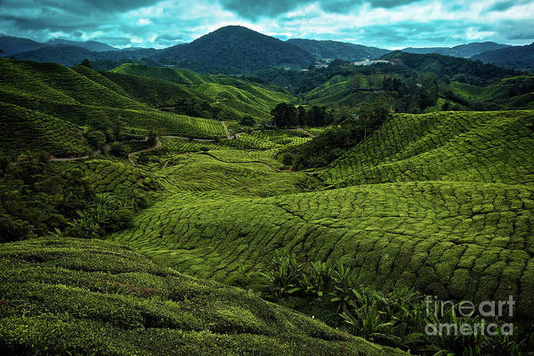 Photograph - Boh Tea Plantation In The Cameron Highlands, Pahang, Malaysia, Southeast Asia by Sam Antonio Photography