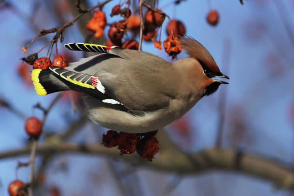 Photograph - Bohemian Waxwing In Paradise Apple Tree by Aivar Mikko