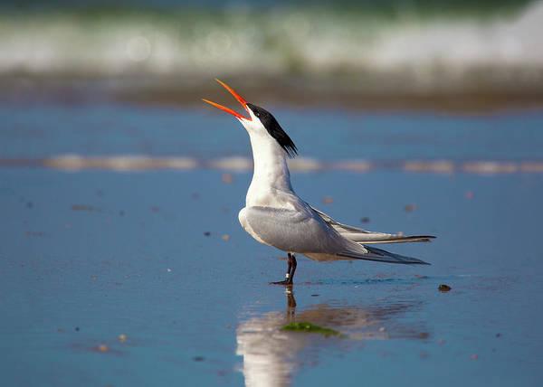 Elegant Tern Wall Art - Photograph - Boisterous by Brian Knott Photography