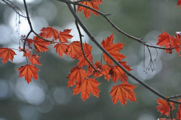 Photograph - Bokeh And Leaves by Fraida Gutovich