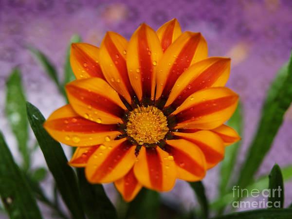 Wall Art - Photograph - Bold Gazania Flower II by Dorothy Lee