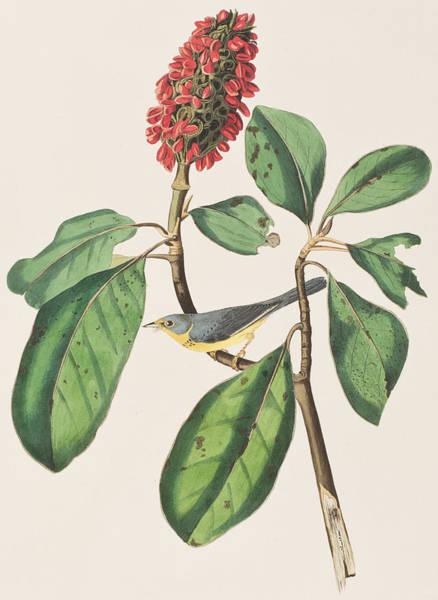 Wild Flowers Drawing - Bonaparte's Flycatcher by John James Audubon