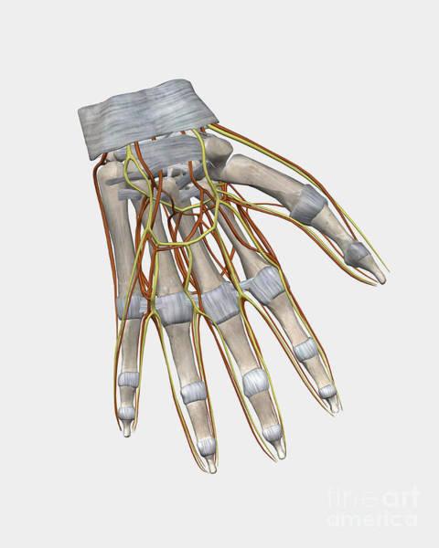 Superficial Digital Art - Bone Structure Of Human Left Hand by Stocktrek Images