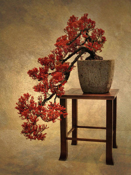 Photograph - Bonsai Beauty by Jessica Jenney