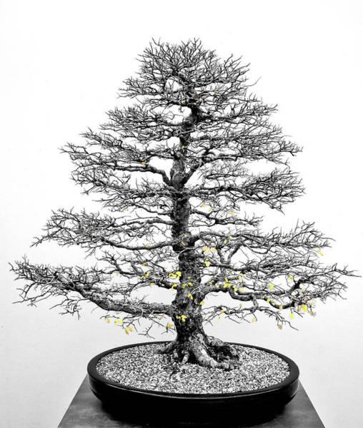 Photograph - Bonsai Elm Tree - Canberra - Australia by Steven Ralser