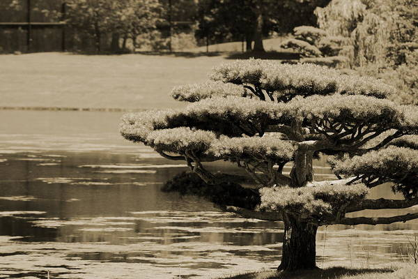 Photograph - Bonsai Tree Near Pond In Sepia by Colleen Cornelius