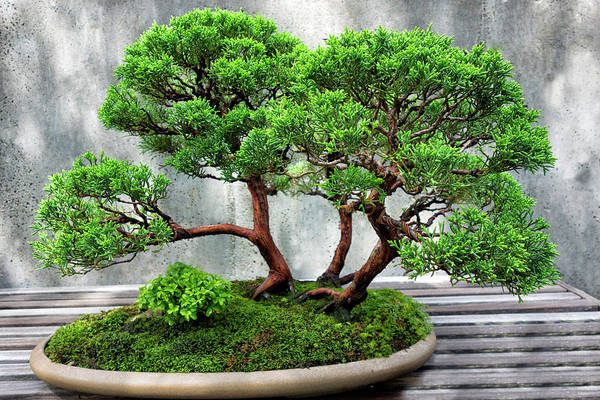 Photograph - Bonsai Tree Series Y6405 by Carlos Diaz