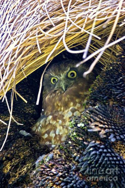 Pokes Wall Art - Photograph - Boobook Owl by B. G. Thomson
