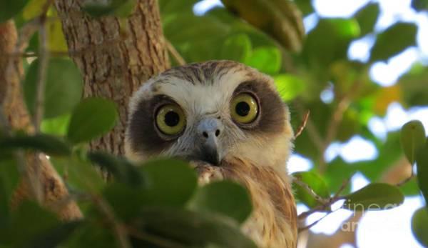 Evie Photograph - Boobook Owl by Evie Hanlon