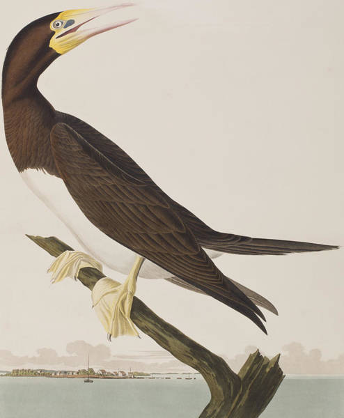 Boobies Painting - Booby Gannet   by John James Audubon