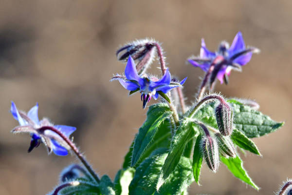 Wall Art - Photograph - Borage 5271 by Michael Peychich