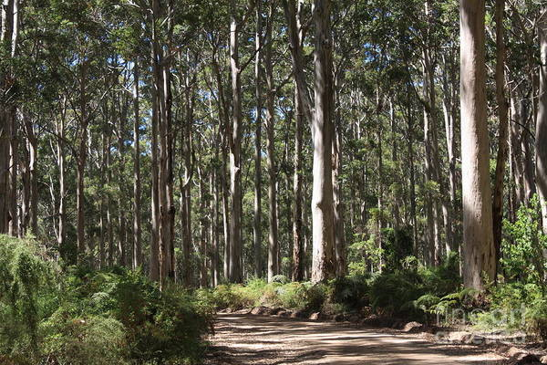 Photograph - Boranup Forest, Margaret  River, Western Australia by Elaine Teague