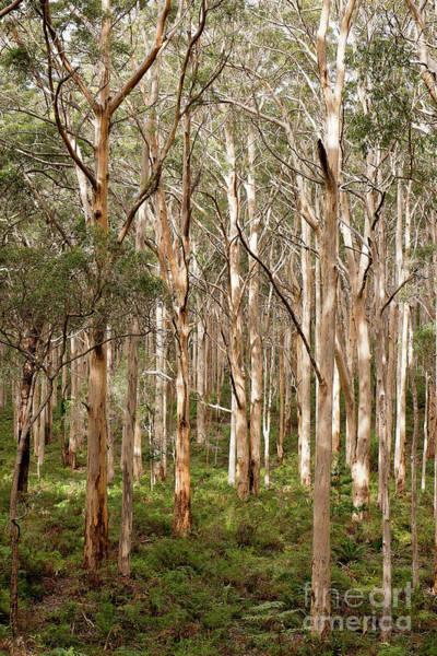 Pemberton Photograph - Boranup Forest Portrait by Ivy Ho