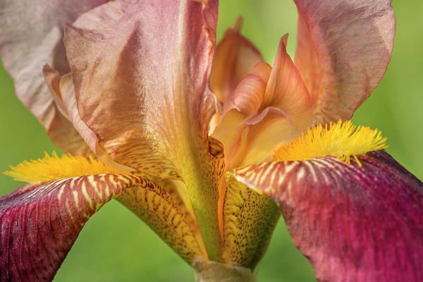 Wall Art - Photograph - Bordeaux Bearded Iris  by Iris Richardson