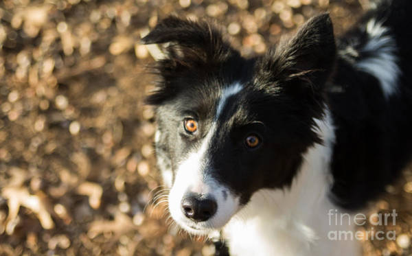 Photograph - Border Collie Loki II by Julia Rigler