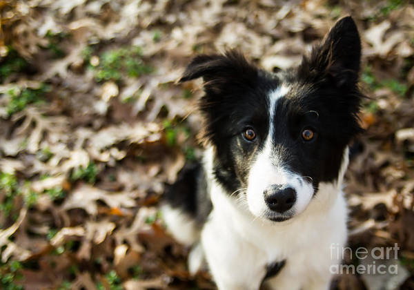 Photograph - Border Collie Loki IIi by Julia Rigler