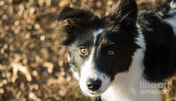 Photograph - Border Collie Loki by Julia Rigler