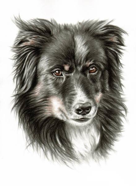 Hund Drawing - Border Collie Portrait by Nicole Zeug