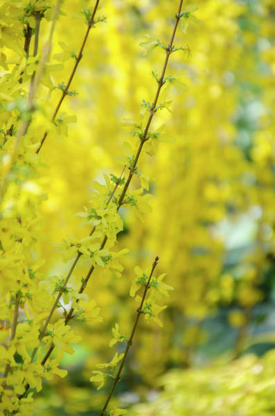 Photograph - Border Forsythia by Bill Cannon