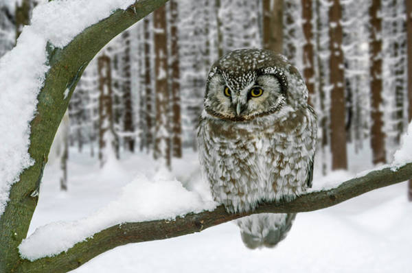 Photograph - Boreal Owl In Winter by Arterra Picture Library