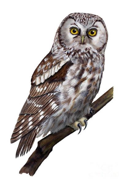 Painting - Boreal Owl Tengmalm's Owl Aegolius Funereus - Nyctale De Tengmalm - Paerluggla - Nationalpark Eifel by Urft Valley Art