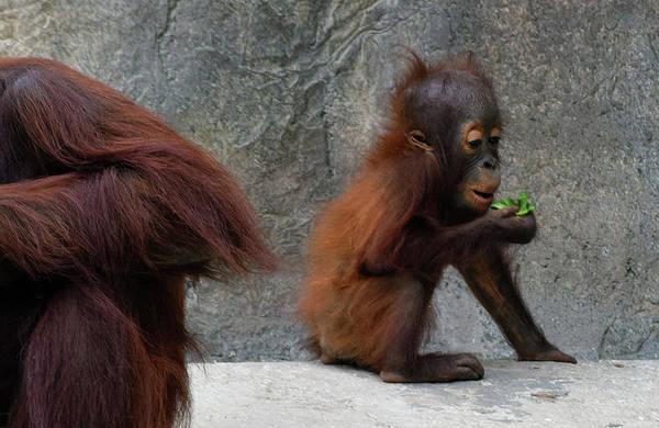 Photograph - Bornean Orangutan Baby by Larah McElroy