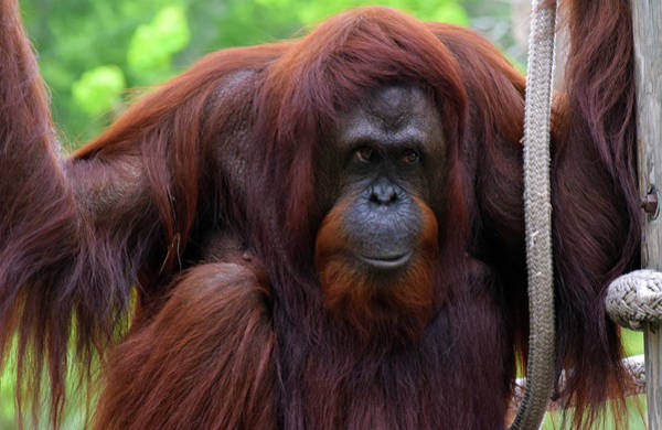 Photograph - Bornean Orangutan by Larah McElroy