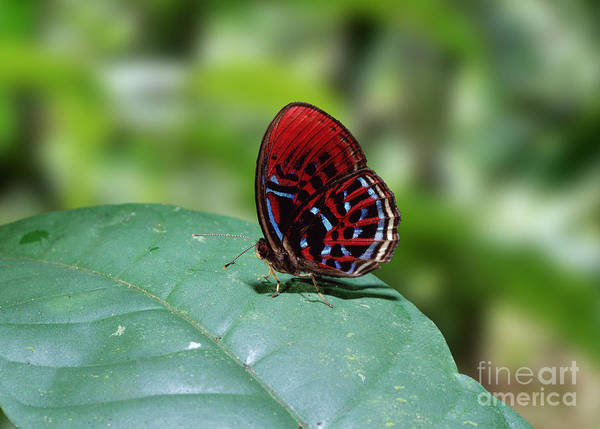 Photograph - Borneo Butterfly by Warren Photographic