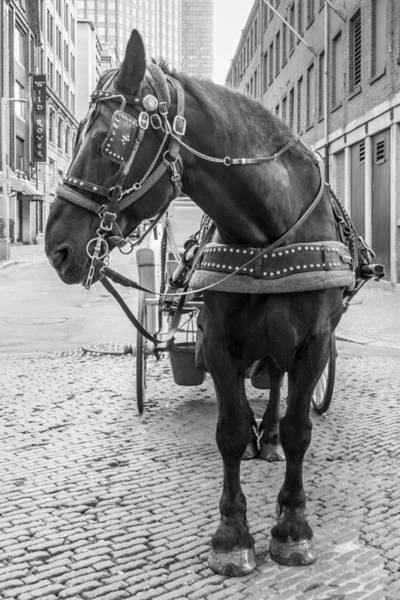 Photograph - Boston Carriage Horse by SR Green