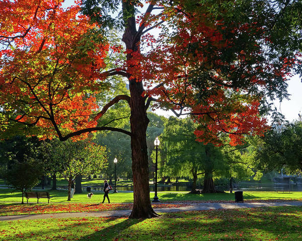 Photograph - Boston Public Garden Autumn Tree Morning Light Walk In The Park by Toby McGuire