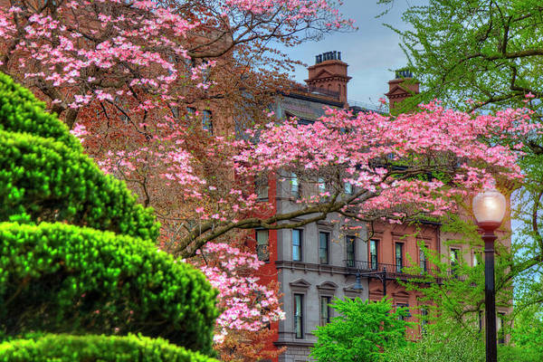 Photograph - Boston Public Garden - Dogwood Trees In Spring by Joann Vitali