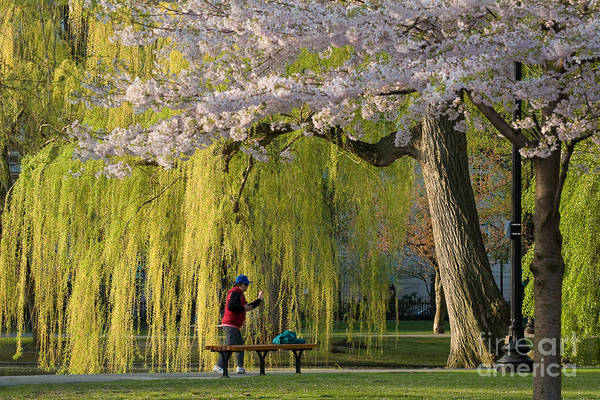 Wall Art - Photograph - Boston Public Garden In Spring by Susan Cole Kelly