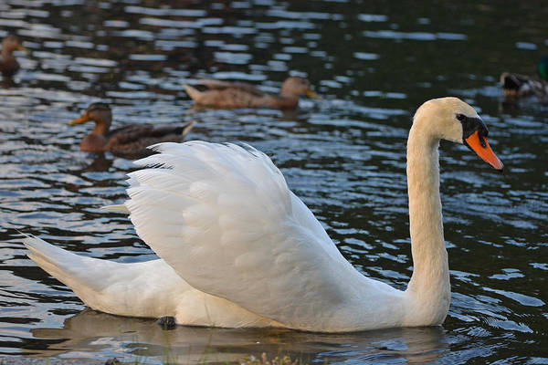 Photograph - Boston Public Garden Swan Amongst The Ducks Ruffled Feathers by Toby McGuire